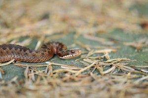 Через укус змії чоловік потрапив до реанімації