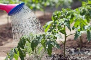 Жителі громади біля Луцька так рятують город, що не вистачає питної води