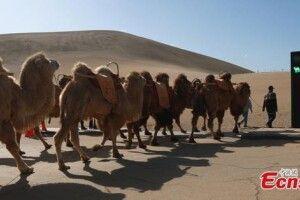 В Китаї відкрили перший у світі світлофор для верблюдів