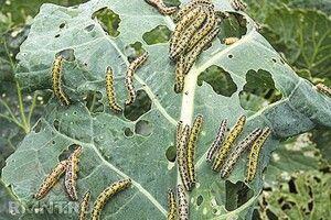 Як захистити капусту від гусені без хімії. Господарські секрети
