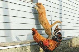 «До коханої у вікні, хоч у когута на спині!»