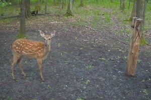 Подивіться, кого «упіймали» відеокамери у волинському лісі (ФОТО, ВІДЕО)