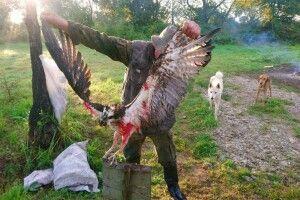 Українські браконьєри застрелили червонокнижну скопу, закільцьовану свого часу у Фінляндії (Фото)