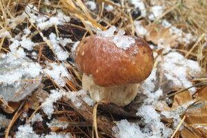 Волинські грибники чхати хотіли на зиму: впольовують «білих» просто з-під снігу