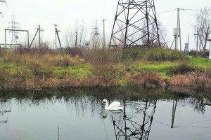 Підстреленого лебедя прихистили старовижівські енергетики