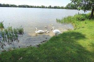 Із«гидких каченят» скоро виростуть птахи–красені