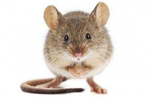 Мишей відвадить гіркий перець