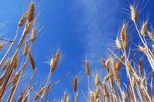 Україна стала найбільшим постачальником пшениці до Європи і обійшла Росію