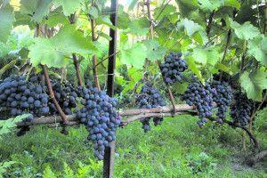 Волинський виноград містить найбільше антиоксидантів