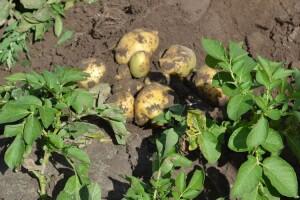 На рівненських ринках картоплю продають по 15 гривень за кілограм