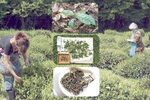 Найпівнічніша чайна плантація напланеті знаходиться вУкраїні
