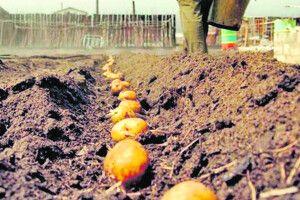 Страх смерті перемагає... картопля