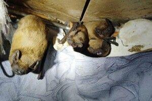 На балконі у киянина оселилося 120 кажанів (фото)