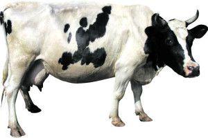 Не прогавте час отелення корови