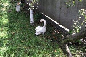 У Луцьку врятували лебедя, який прилетів до обійстя місцевого жителя (Відео)