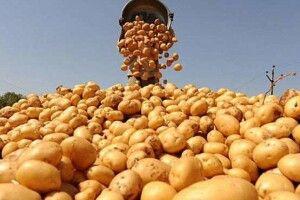 Стало відомо, чому врожай картоплі був дуже низьким