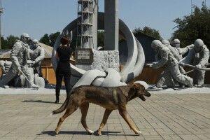 Собаки Чорнобиля: як волонтери з усього світу допомагають бездомним тваринам у зоні відчуження