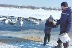 Серед криги і снігу — майже два десятки лебедів