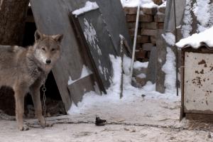 Українці прихистили цуценя, а воно виявилося вовком (Відео)