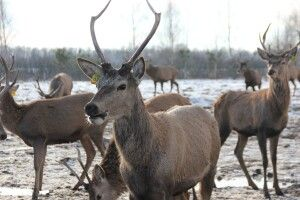 Показали оленів з ферми неподалік Луцька