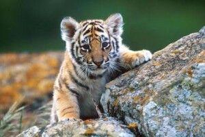 У Рівному юна тигриця відгуляла новосілля й стає дедалі небезпечнішою (Відео)