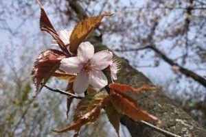 У Луцьку цвіте сакура