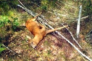 Убивць козулі затримали намісці злочину