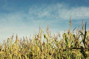 Співвласника кооперативу у Рівному вбили і закопали на кукурудзяному полі