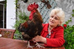 У Франції помер півень, який відсудив  своє право кукурікати вранці