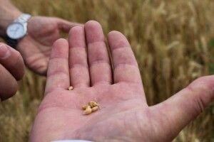 На Волині  науковці досліджують ріпак, кукурудзу, ячмінь, пшеницю, сою та горох