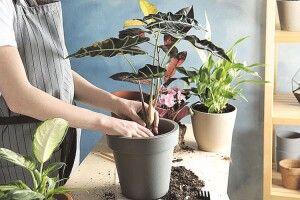 Пересадка і перевалка  кімнатних рослин