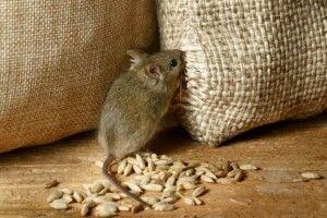 На Волинь сунуть морози: в хати до людей полізли миші