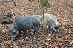 Як на Старовижівщині відновлюють популяцію диких кабанів