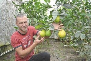 Рожева мрія волинського садівника— червоний лимон