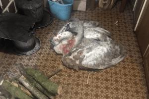 Волинянин прихистив двох лебедів, які травмувалися на замерзлій водоймі