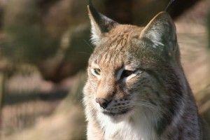 У Рівненський зоопарк передадуть рись, яку невідомі тривалий час тримали вдома
