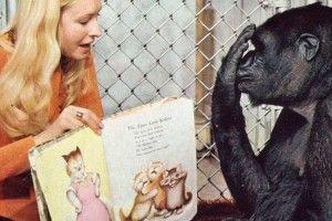 Люди навчили горилу Коко читати ірозмовляти, авона їх… любити ближнього