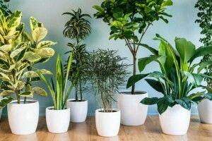 Кімнатні рослини: друзічи вороги?