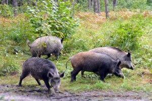 На Волині випустили у ліс 120 оленів і 30 диких свиней (Фото)