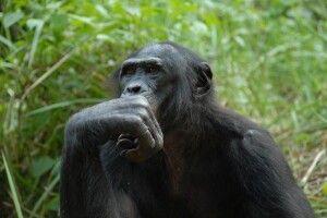Вчені дійшли висновку, що шимпанзе страшенно люблять танцювати під музику