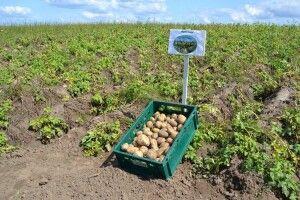 Наступного року ціни на картоплю обваляться