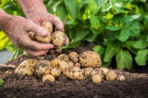 У волинян масово крадуть картоплю