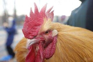 Півень вбив свого господаря: птах підстрибнув і вдарив чоловіка гострою семисантиметровою шпорою в пах