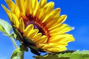 Уряд затвердив соняшник символом Дня пам'яті захисників України