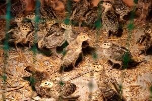На Горохівщині підростають перші волинські фазанята (Фото, Відео)