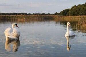 Фотомисливець наклацав лебедів на волинському озері Соминець (Фото)
