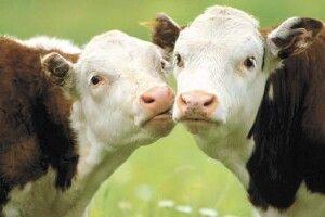 Понад 5 тисяч волинян отримали дотацію за вирощування худоби