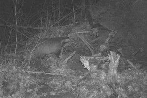 На Волині борсука «впіймали» в фотопастку