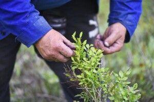У заготівельників чорниць просять бути шанобливими до лісу, а у влади -- уважними до заготівельників
