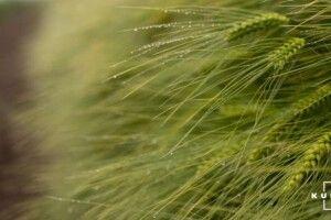 Через дощі на українських ланах вилягають посіви пшениці та ячменю